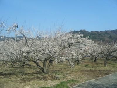 曽我梅林の景色.jpg