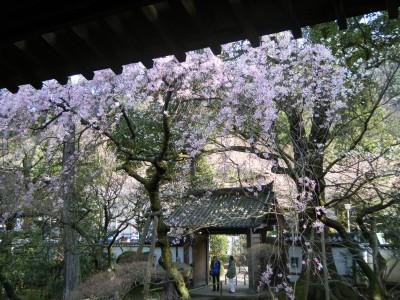 早雲寺の境内から見た桜.jpg