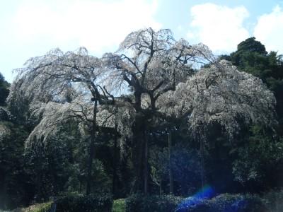 長興山の枝垂桜.jpg