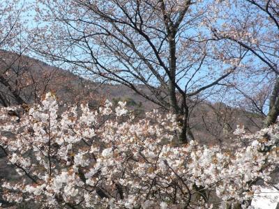 三分咲きの桜.jpg