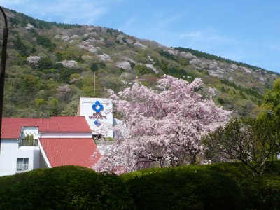 山桜2011.jpg