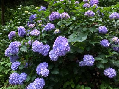 紫陽花2014.jpg